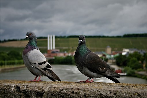 Pigeons, Birds, Bird Pigeon, Bird, Feather, Animal