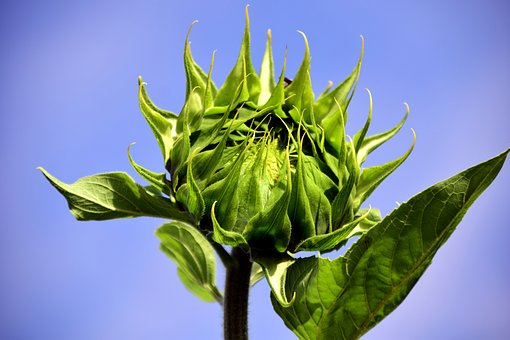 Sun Flower, Bud, Sunflower Bud, Summer, Plant, Nature
