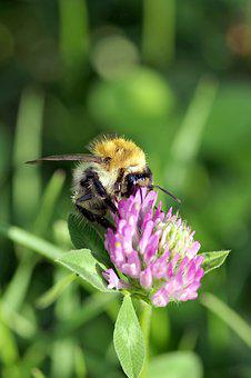Bumblebee, Insect, Pollinate, Clover, Red, Blue, Violet