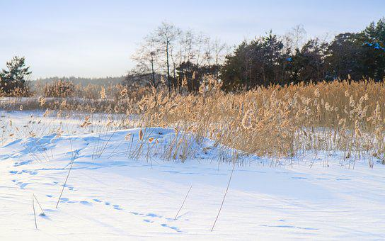 Winter, Reed, Sunny, Day, Nature, Landscape, Season