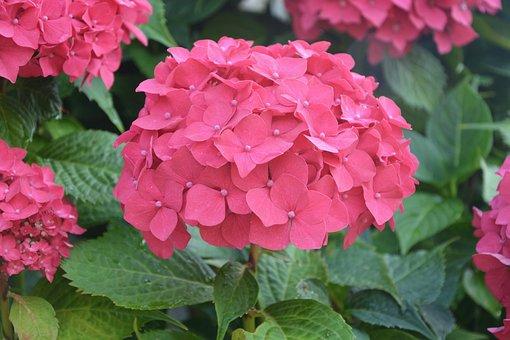 Flowers, Red, Small Petals, Massif, Garden, Nature