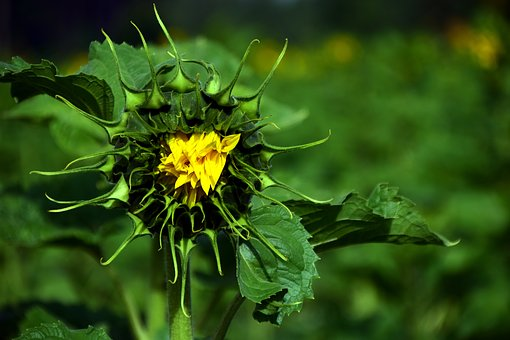 Sun Flower, Green, Yellow, Bud, Plant, Summer, Field
