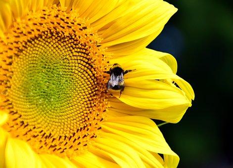 Sun Flower, Hummel, Blossom, Bloom, Summer, Yellow