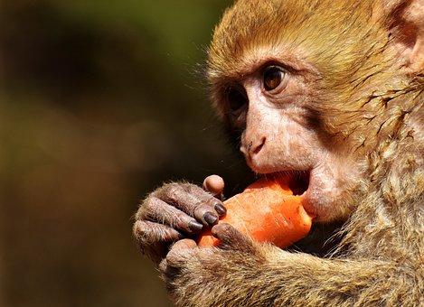 Barbary Ape, Endangered Species, Cute, Animal