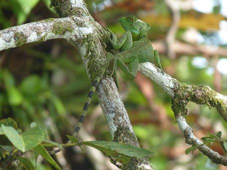 Basilisk, Caribbean Coast, Basiliscus Basiliscus