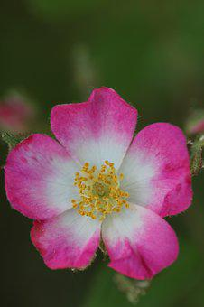 Wild Rose, Summer, Blossom, Bloom, Bush, Roses, Bloom