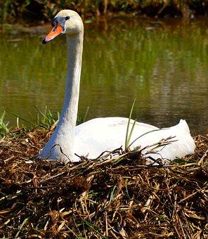 Swan, Nest, Fluff, Breed, Swan's Nest, Animal