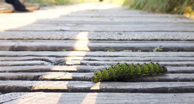 Caterpillar, Insect, Wildlife, Nature, Butterfly, Bug