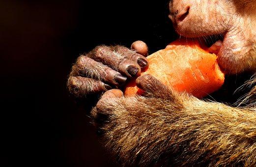 Barbary Ape, Close, Cute, Eat, Carrot