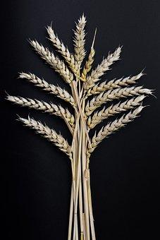Ear, Grain, Corn On The Cob, Wheat, Klasky