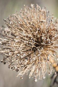 Leek, Dry, Seeds