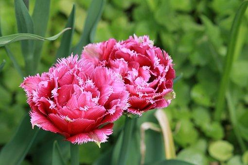 Tulip, Dutch, Flower, Dacha, Garden, Nature, Beautiful