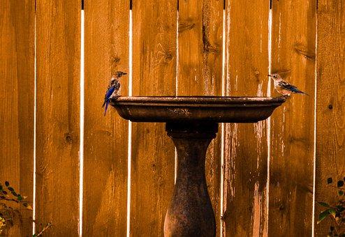 Eastern Bluebirds, Nature, Birdbath