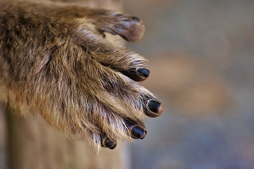 Barbary Ape, Hand, Endangered Species