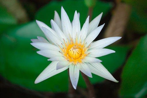 Lotus, Flower, Flowers, Nature, Background, Water