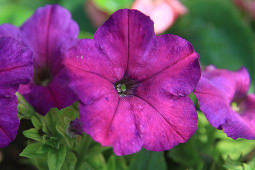 Flower, Plant, Morning Glory