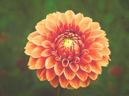 Dahlia, Flowers, Orange, Yellow, Horticulture, Plant