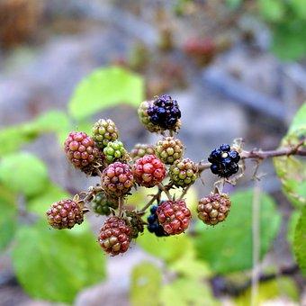 Blackberries, Fruits, Wild, Nature, Blackberry, Healthy
