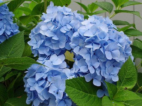 Flowers, Hydrangeas, Blue, Garden, Summer