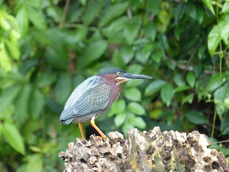 Even Virescens, Green Heron, Bird, Costa Rica