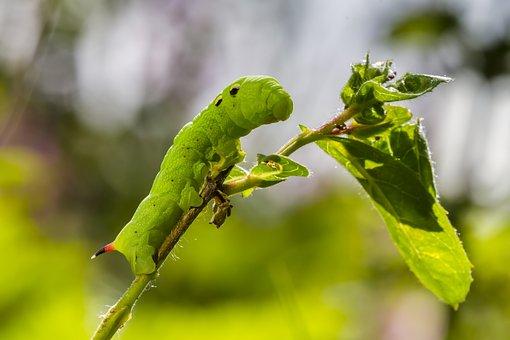 Caterpillar, Medium Wine Enthusiast, Green Caterpillar