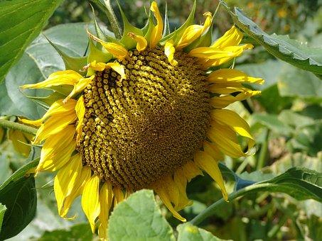 Sun Flower, Nature, Bright, Plant, Close, Public Record
