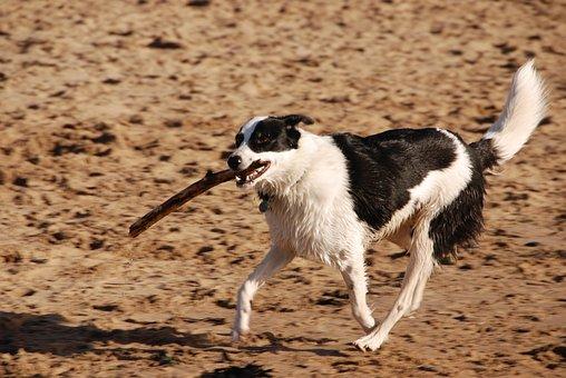 Dog, Stick, Running, Beach, Pet, Exercise
