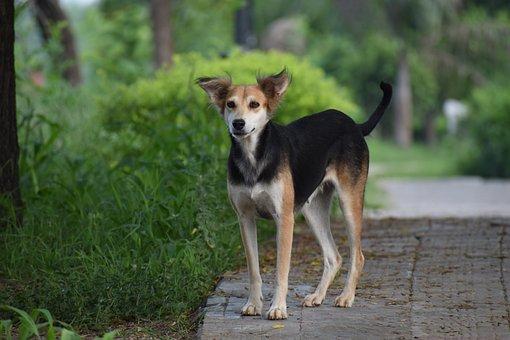 Dog, Canine, Street Dog, Pariah