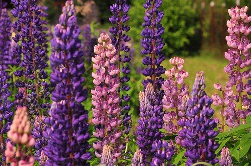 Lupine, Flowers, Summer, Beautiful Flowers, Lupinus