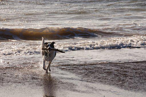 Dog, Beach, Sea, Running, Stick, Sun