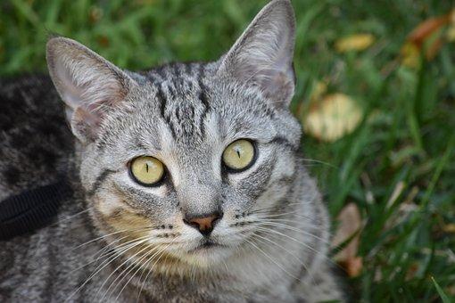 Cat, Feline, Portrait, Pet, Domestic, Whisker