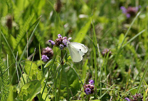 Butterfly, Bielinek, White, Meadow, Pieris Brassicae
