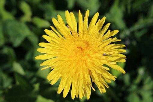 Dandelion, Taraxacum, Flower, Yellow Petals, Blooming