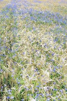 Cornflowers, Corn, Field, A Lot Of, Carpet, Nature