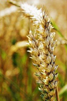 Wheat, Field, Agriculture, Wheat Field, Cornfield, Ear