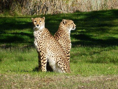 Cheetahs, Big Cat, Wildlife, Animal, Two, Sitting