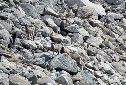 Bighorn Sheep, Herd, Mountains, Pasture, Highlands