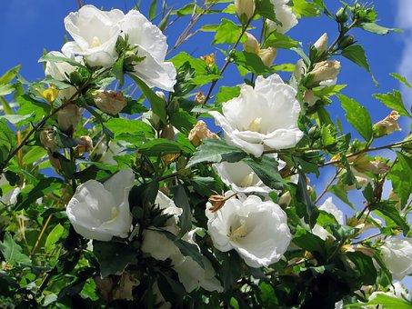 Hibiscus, Mallow, White Flower, Mugunghwa, Botany