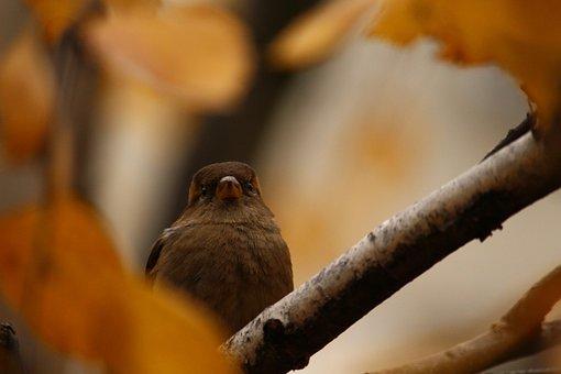 Sparrow, Autumn, Branch, Sparrow On A Branch, Sheet