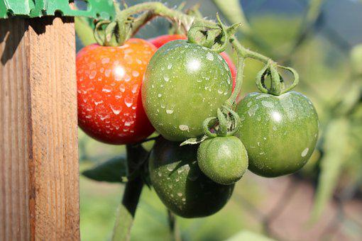 Tomatoes, Insecticide, Chemicals, Food, Garden, Plant
