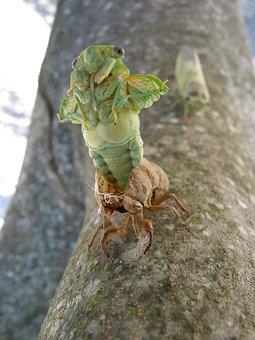 Cicada, Birth, Provence