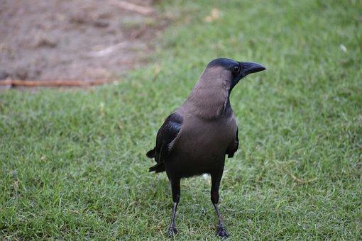 Crow, House Crow, Corvus, Greynecked