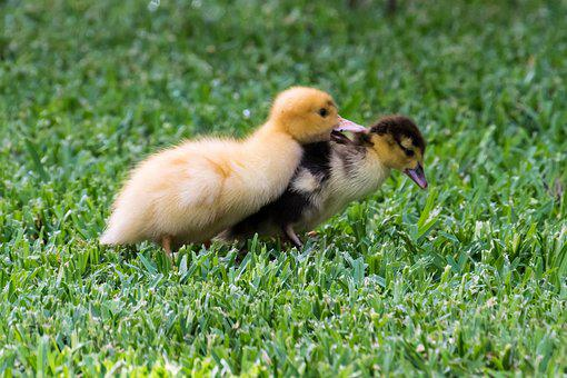 Duck, Ducklings, Bird, Nature, Wild, Young, Baby, Cute