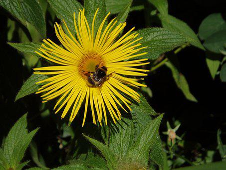 Inula, Racemosa Yellow, Garden, Flower, Bee, Nature