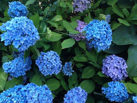 Hydrangea, Flowers, Beautiful, Blue Flowers