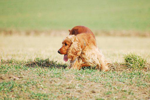 Dog, Doggy, Freedom, On A Walk, Spacer, Gold, Rudy, Red