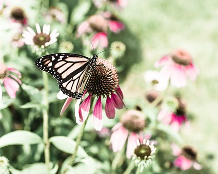 Butterfly, Nature, Coneflower, Insect, Garden, Natural