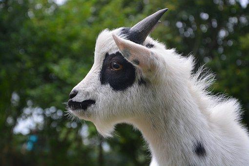 Goat, Profile, Head, Nature, Animals, Domestic Animal