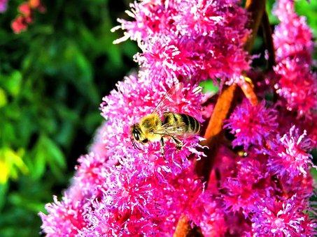 Bee, Honey Bee, Insect, Nature, Spirea, Pink Flowers