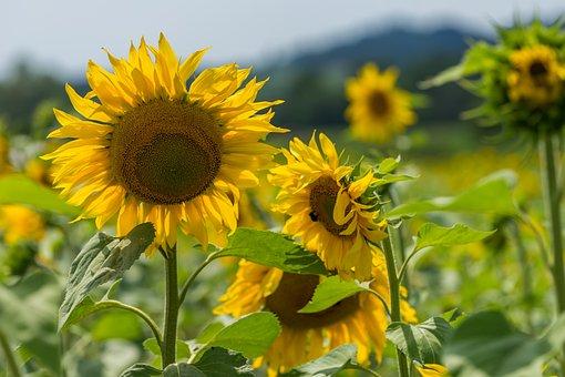 Nature, Flower, Sun Flower, Summer, Leaves, Background